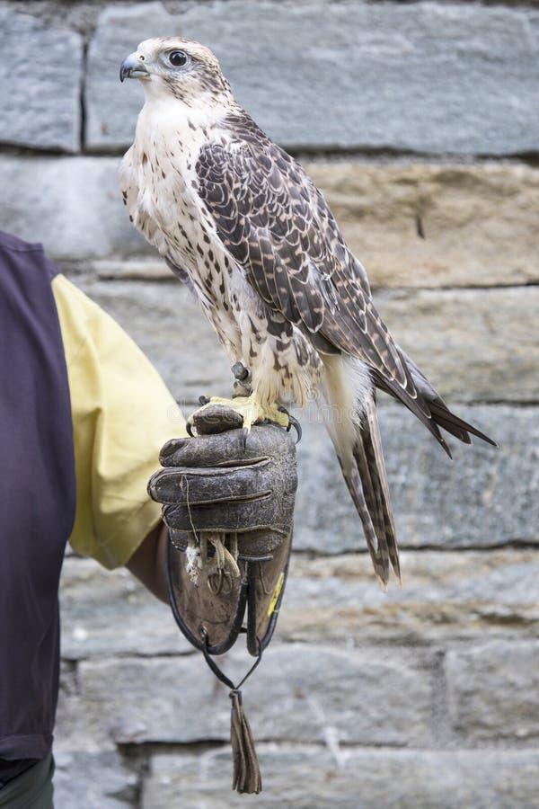 Halconero con el halcón del saker imagenes de archivo