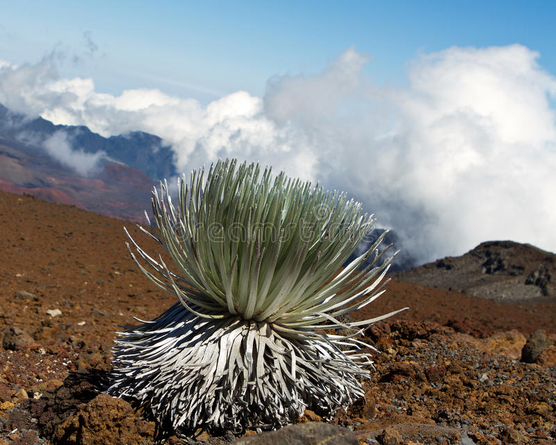 Haleakala Silversword : 濒于灭绝的物种 免版税库存图片