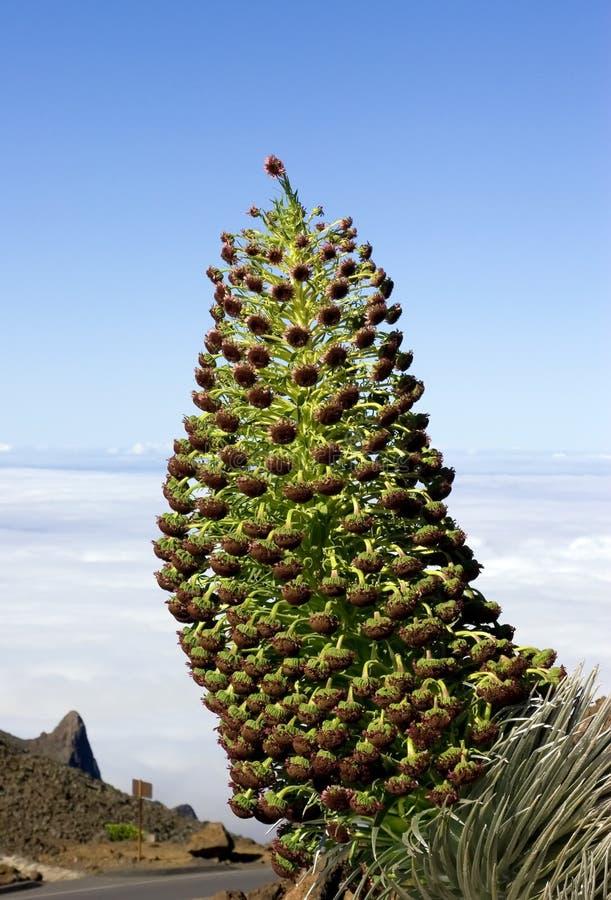 Free Haleakala Silversword Stock Image - 4781931