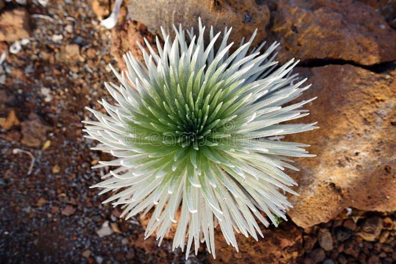 Haleakala silversword, highly endangered flowering plant endemic to the island of Maui, Hawaii. Argyroxiphium sandwicense subsp. s. Andwicense or Ahinahina in stock image