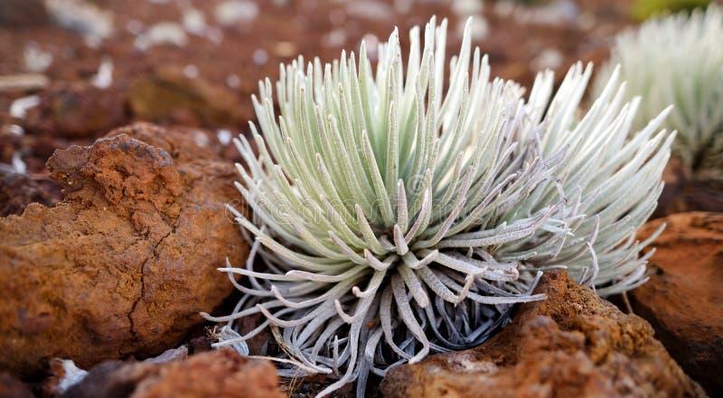 Haleakala silversword, hoogst bedreigde bloeiende installatie endemisch aan het Eiland Maui, Hawaï Argyroxiphium sandwicense subs royalty-vrije stock afbeelding