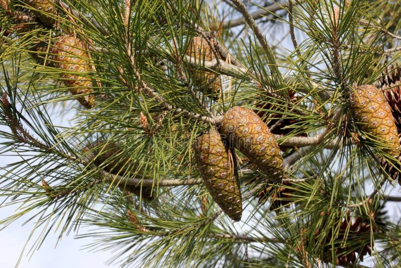 Halepensis Pinus, сосна Халеба стоковая фотография rf