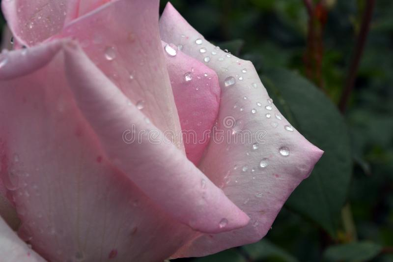 Half of a beautiful bud of a delicate pink rose flower. NHalf of a beautiful bud of a delicate pink rose flower with white color with raindrops close-upnn royalty free stock photos