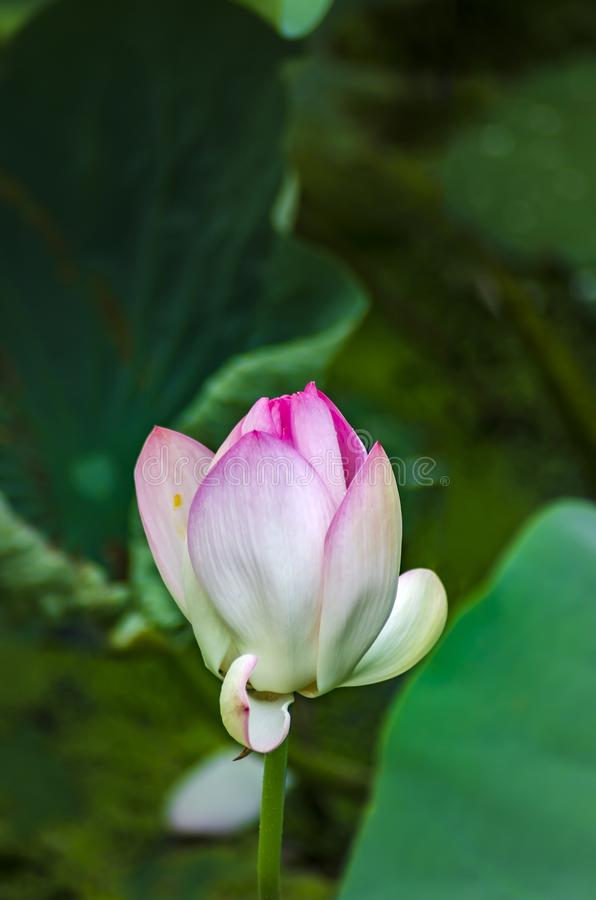 Half bloomed lotus flower stock image