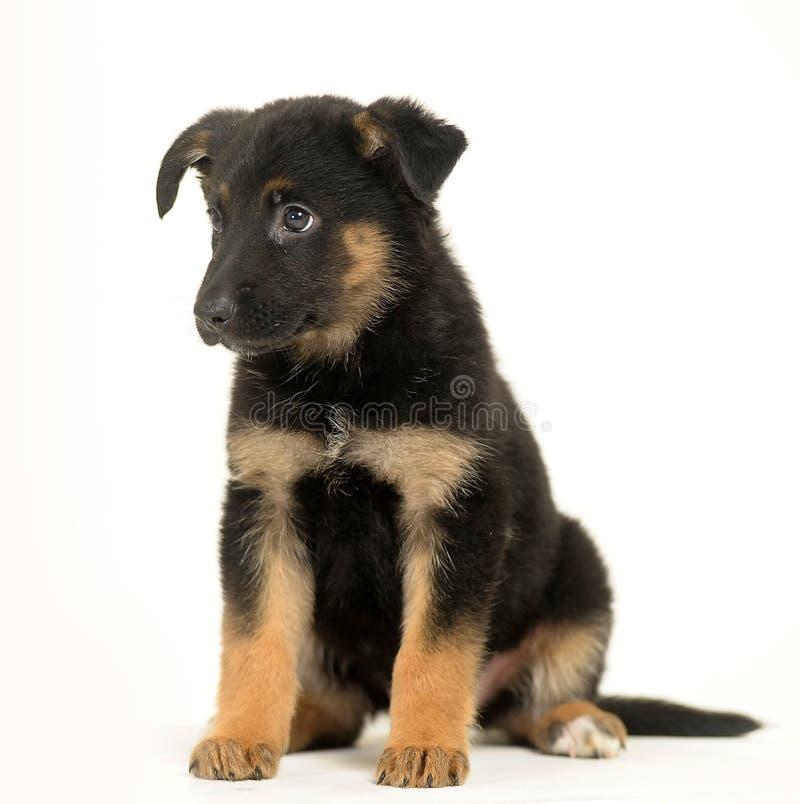 Half-breed shepherd puppy stock photography