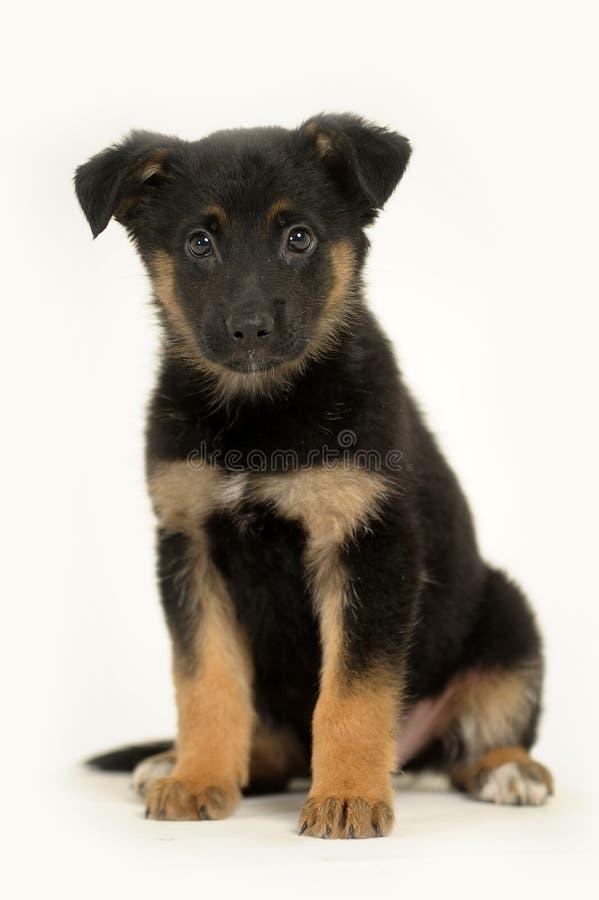 Half-breed shepherd puppy. Half-breed German Shepherd puppy stock images