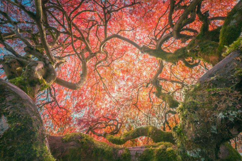 The half century Japanese maple with interesting POV. This is a photograph of a very old Japanese maple with interesting POV stock images