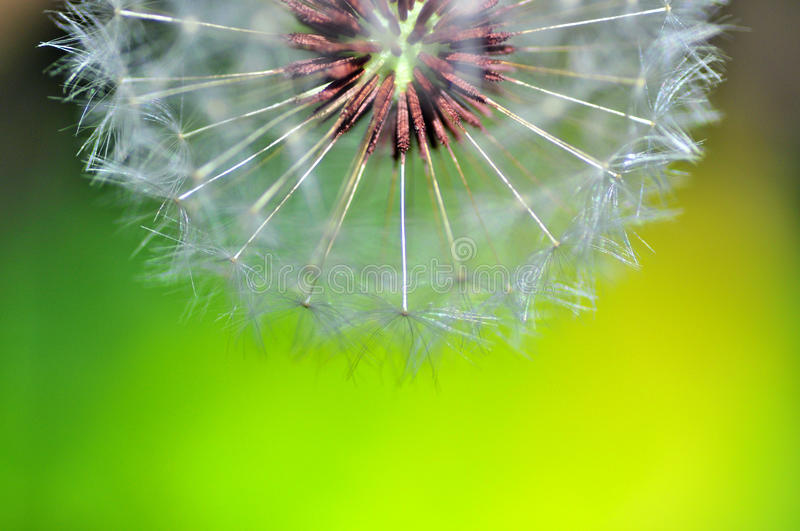 Half dandelion stock photo