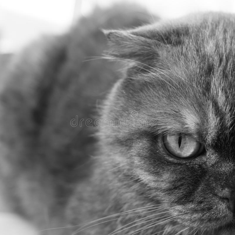 Half face folded cats. Close-up. Black and white photo. Half face folded cats. Close-up. Beautiful serious animal. Black and white photo royalty free stock photography