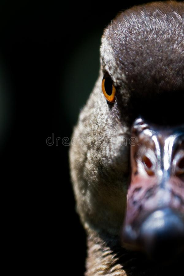 Half-faced Duck Portrait royalty free stock images