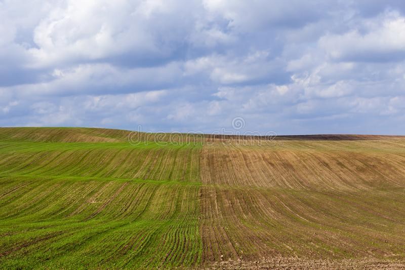 Half of the field. With germinated sprouts of wheat after its sowing, winter varieties of plants stock photography