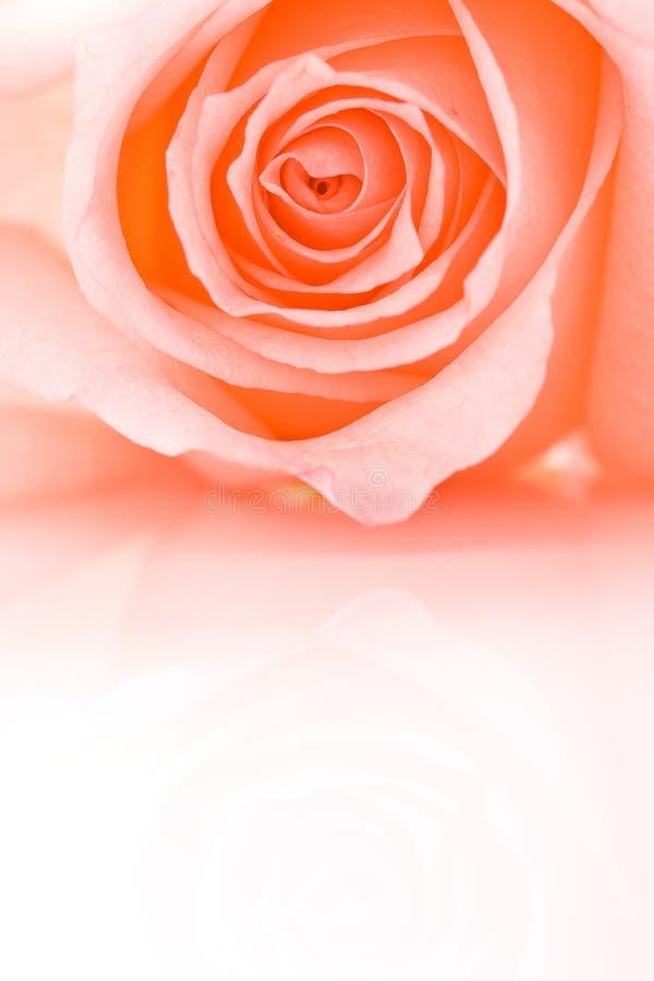 Half frame closeup pink rose stock photography
