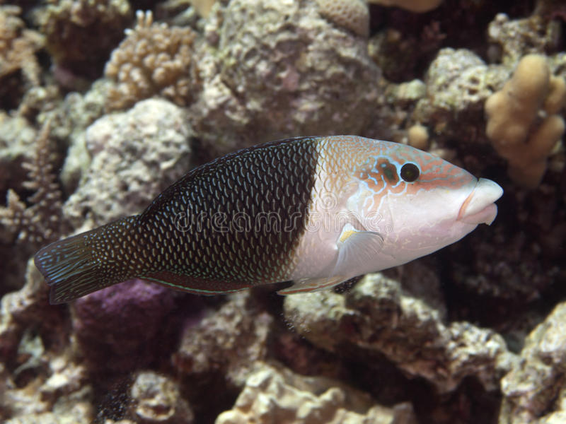 Half and half wrasse royalty free stock photo