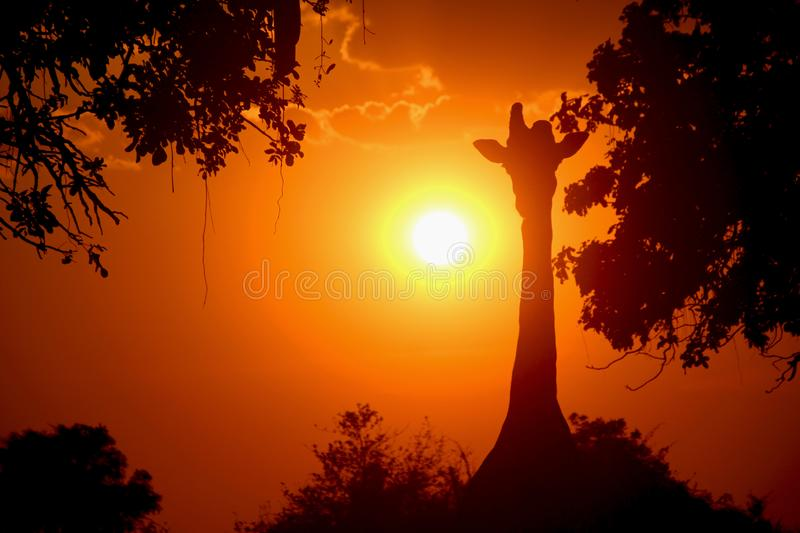 Half horn sunset in Zambia stock images