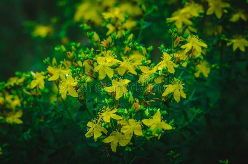 Hypericum Hypericum yellow flowers in the predawn twilight. Summer forest glade half an hour before sunrise. Shooting at eye level. Half an hour before dawn in a royalty free stock photography