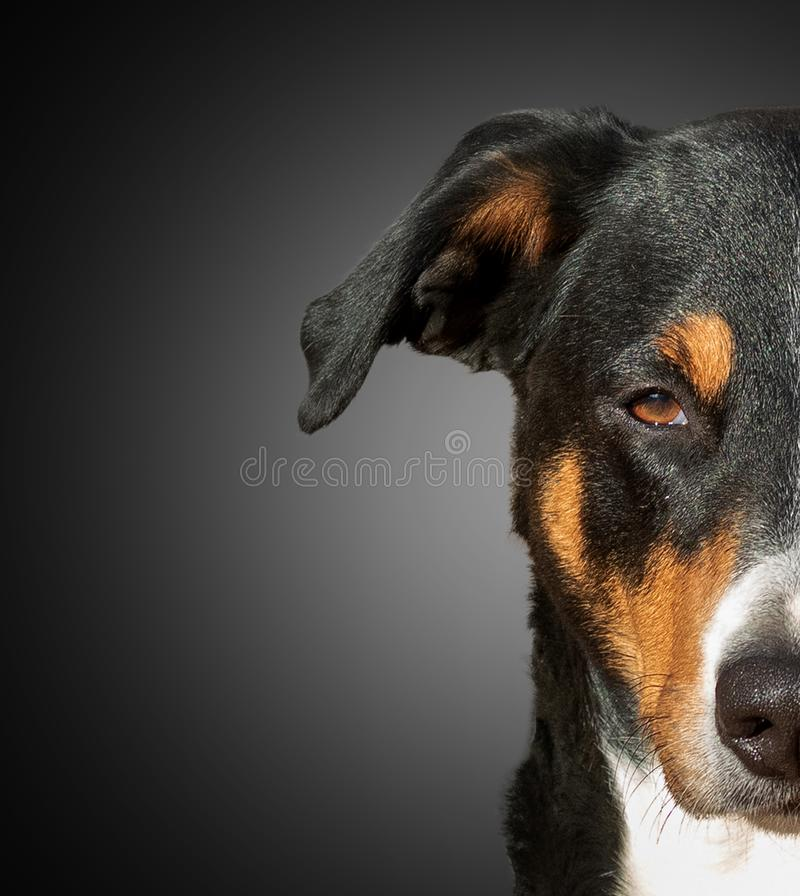 Half muzzle of a Appenzeller dog royalty free stock image