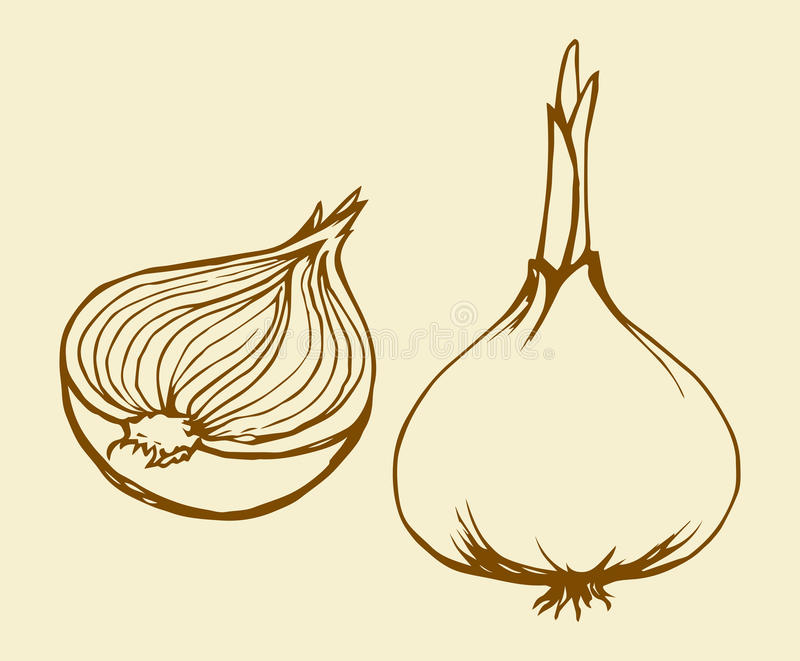 Half of onions. Vector drawing royalty free illustration