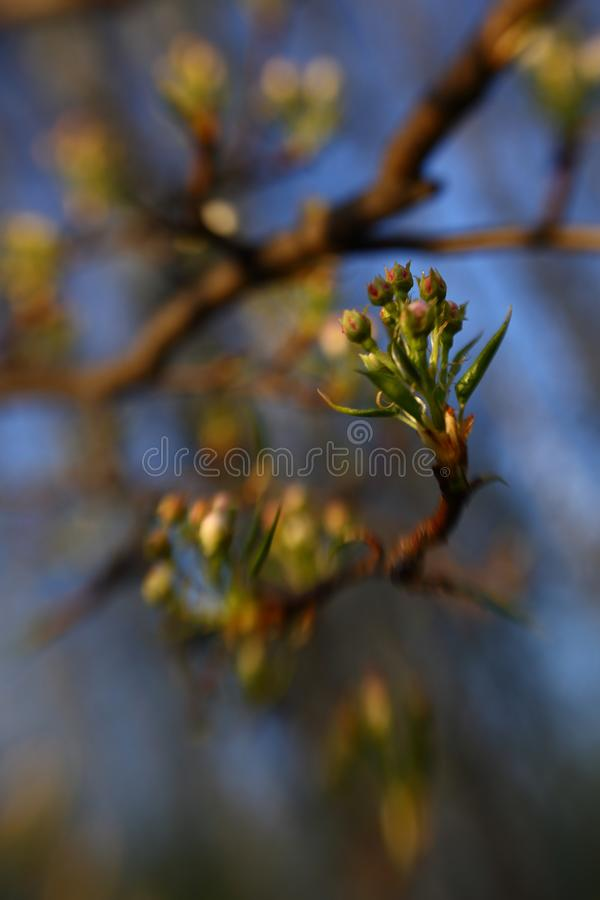 Half-open梨芽在春天庭院 免版税库存图片