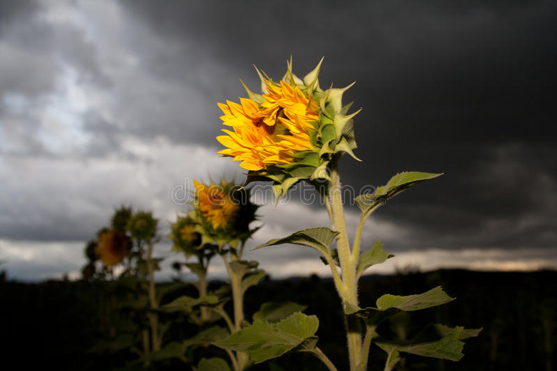 Half-open sunflower royalty free stock images