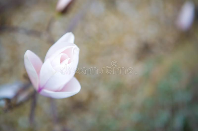 Half opened magnolia blossom against brown. stock photo