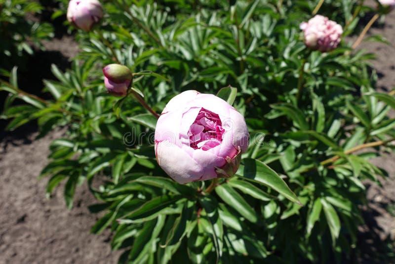 Half-opened pink flower bud of double peony. Half opened pink flower bud of double peony stock photography