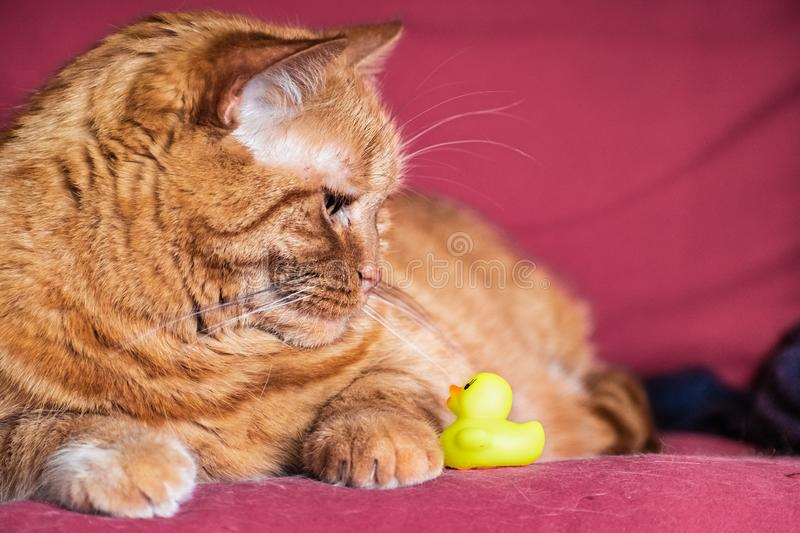 Half-Persian orange cat sitting on a couch, looking down at a little plastic yellow toy duck royalty free stock photo