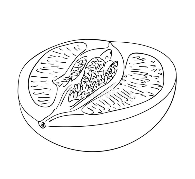 Half of pomelo fruit in black and white colors, outline hand painted drawing. Vector illustration, isolated half of pomelo fruit in black and white colors stock illustration