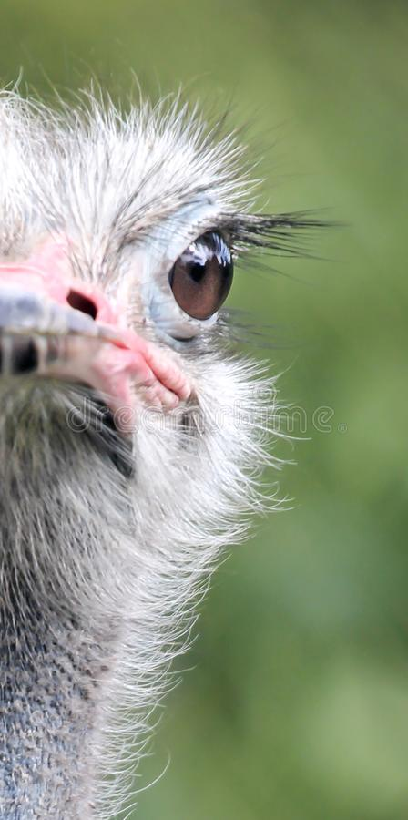 Half portrait of an ostrich with bokeh background royalty free stock photo