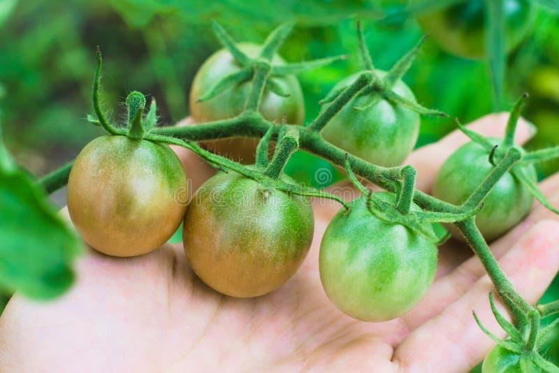 Half-ripe tomato branch on farmers hand royalty free stock photos