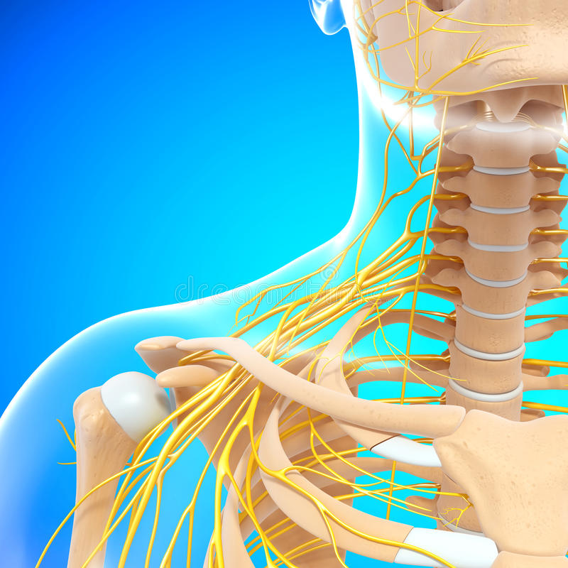 Download Half View Of Nervous System Of Throat And Head Stock Illustration - Illustration: 26307687