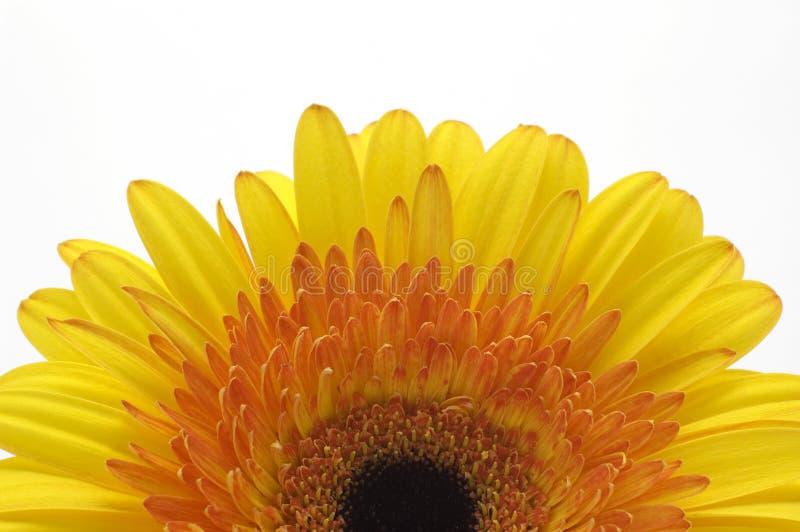 A Half Of Yellow Daisy Stock Image