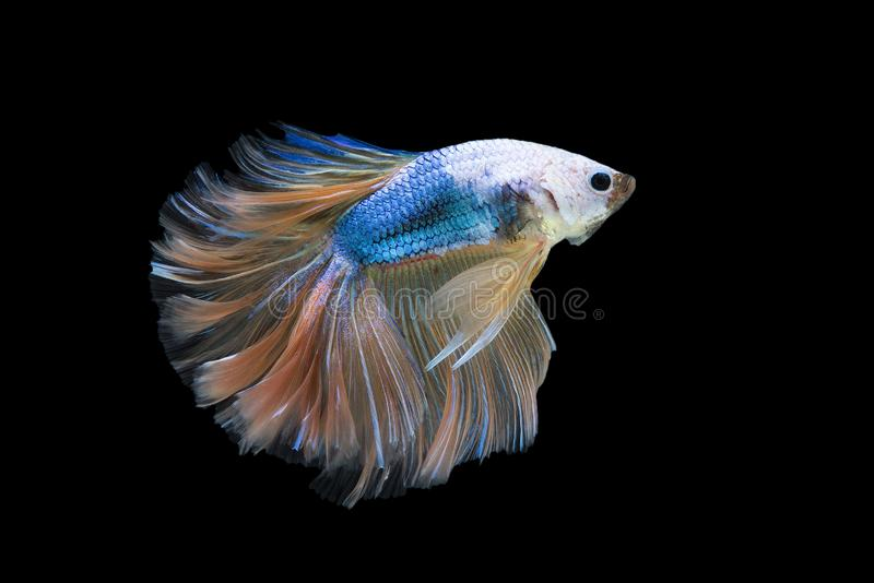 Halfmoon Betta Fish stock photography