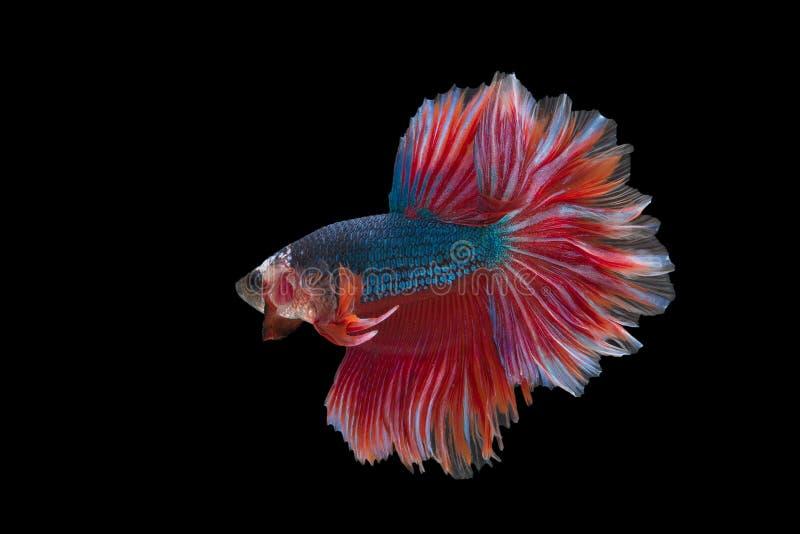 Halfmoon Betta Fish royalty free stock image