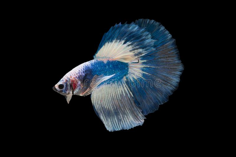 Halfmoon Betta Fish. `Halfmoon Betta` capture the moving moment beautiful of siam betta fish in thailand on black background royalty free stock photography