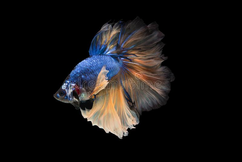 Halfmoon Betta Fish. `Halfmoon Betta` capture the moving moment beautiful of siam betta fish in thailand on black background stock photos