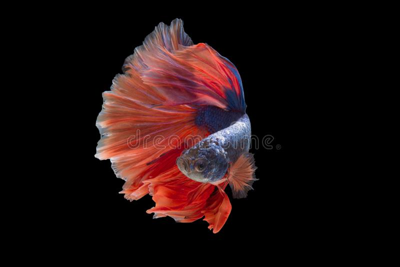 Halfmoon Betta Fish. `Halfmoon Betta` capture the moving moment beautiful of siam betta fish in thailand on black background stock image