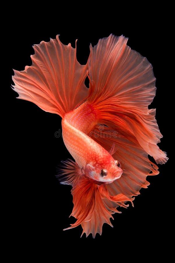 Halfmoon betta fish. On black background stock photos