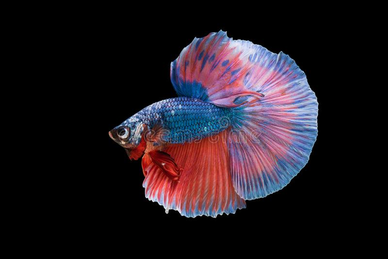 Halfmoon Betta Fish. `Halfmoon Betta` capture the moving moment beautiful of siam betta fish in thailand on black background royalty free stock image