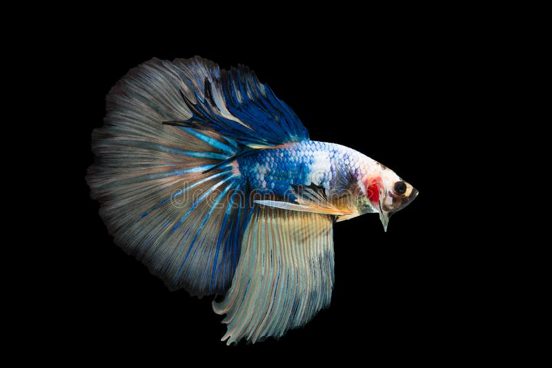Halfmoon Betta Fish. `Halfmoon Betta` capture the moving moment beautiful of siam betta fish in thailand on black background royalty free stock images