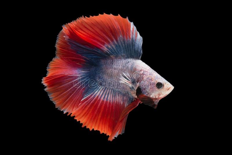 Halfmoon Betta Fish. `Halfmoon Betta` capture the moving moment beautiful of siam betta fish in thailand on black background stock photo