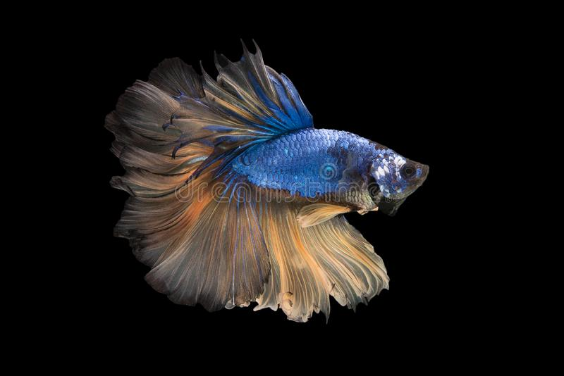 Halfmoon Betta Fish. `Halfmoon Betta` capture the moving moment beautiful of siam betta fish in thailand on black background royalty free stock photos