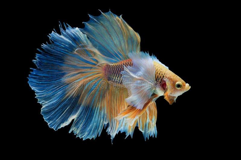 Halfmoon Betta Fish. `Halfmoon Betta` capture the moving moment beautiful of siam betta fish in thailand on white background stock photography