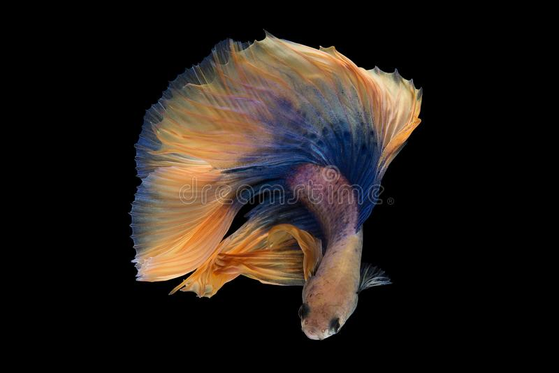 Halfmoon Betta Fish. `Halfmoon Betta` capture the moving moment beautiful of siam betta fish in thailand on black background royalty free stock images