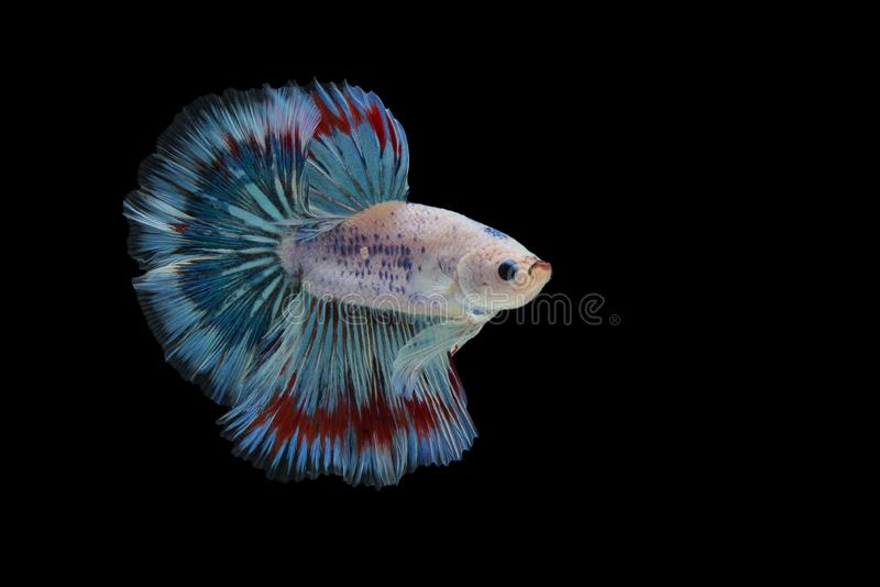 Halfmoon Betta Fish. `Halfmoon Betta` capture the moving moment beautiful of siam betta fish in thailand on black background stock photography
