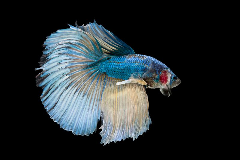 Halfmoon Betta Fish. `Halfmoon Betta` capture the moving moment beautiful of siam betta fish in thailand on black background royalty free stock photo