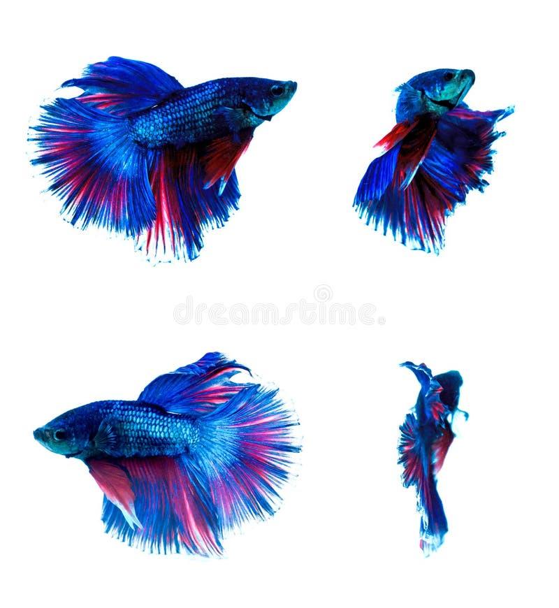 Halfmoon Betta fish royalty free stock photography