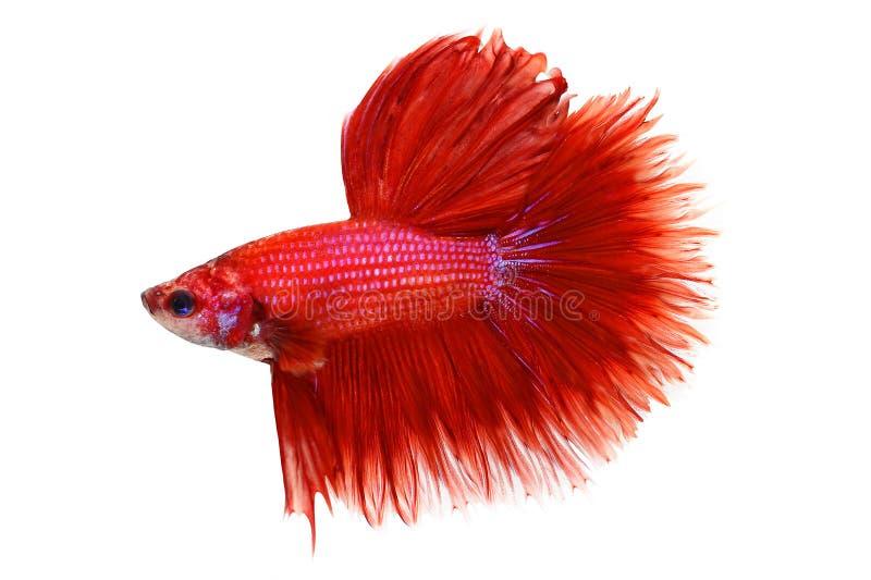 Halfmoon Betta splendens Siamese fighting aquarium fish royalty free stock images