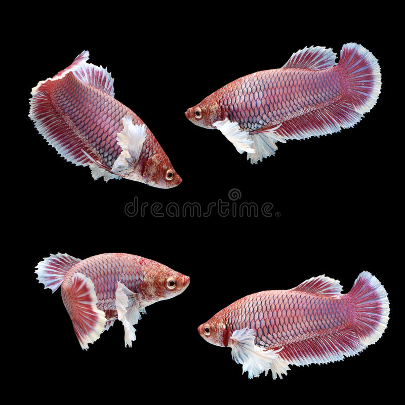 Halfmoon Dumbo Betta Female. On black background. Beautiful fish. Swimming flutter tail flutter royalty free stock images