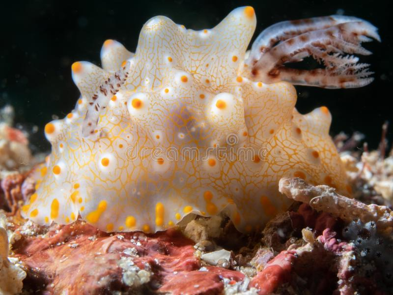 Halgerda batangas nudibranch. North Sulawesi, Indonesia. Halgerda batangas nudibranch. Macro images of critters from North Sulawesi, wonderful Indonesia royalty free stock photography