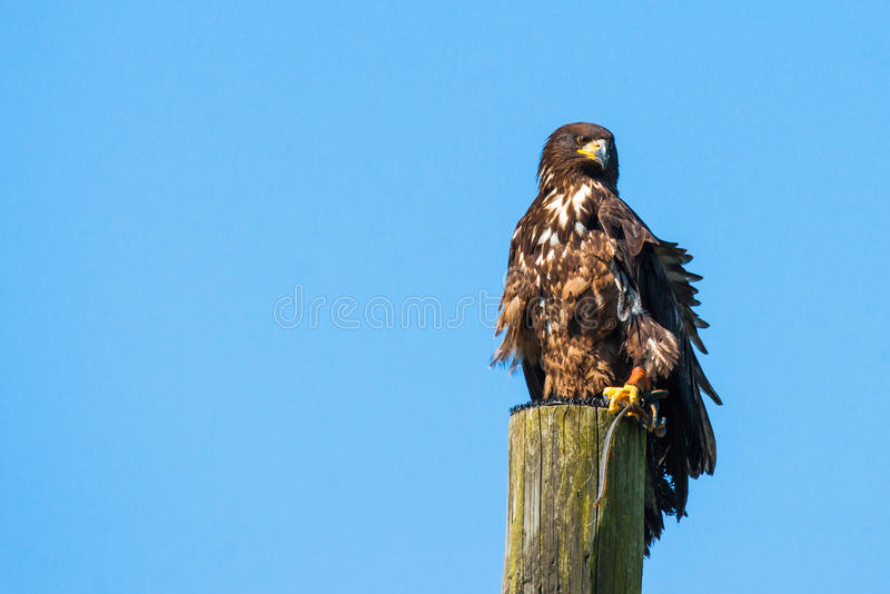 Haliaeetus albicilla eagle on the top of a wooden post. On blue background royalty free stock photos